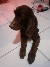 Doação cachorro coquer 11 anos chocolate