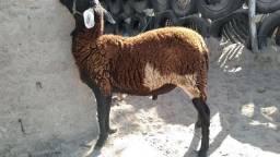 Vendo lote 4 carneiros