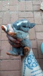 Vende-se mini coelhos holandês