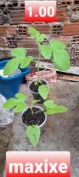 Mudas de hortaliças , horganicas