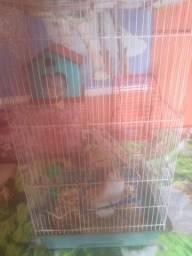 Hamsters fêmea