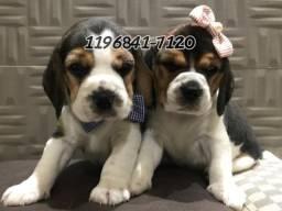 Aqui Fotos Reais dos Filhotes de Beagle tricolor a pronta entrega .