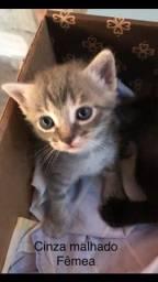 Vende-se filhotes de gato siamês