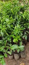 Limão tayti