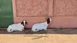 Vendo cabra Boer