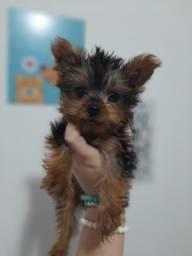 Yorkshire Terrier Macho Filhote *2 doses vacina *Garantia de saúde * Pedigree