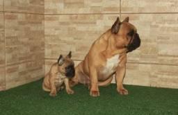 Filhotes bulldog frances !!!!!