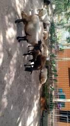 Ovelhas cordeiros.