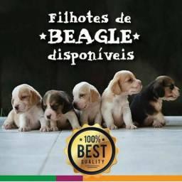 Beagle Macho Bicolor, disponível para entrega, parcelo em 10x