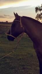 Égua crioula de laço