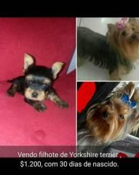 Vendo filhote de yorkshire terrier macho