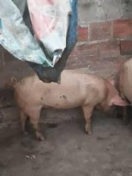 Vendo porco de Quintal