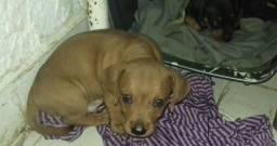 Filhote salsicha dachshund