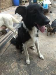 Vendo este cachorrinhos de raça pura labrador e border collie