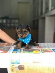Yorkshire Terrier filhotinho lindo