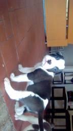 Filhotes de Pitbull terrier