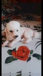 Estou a procura de um cachorrinho poodle branco e da minha filha.