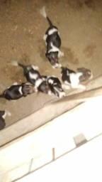Filhotes de Fox serrano 1 mês