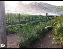 Promoção palmeira fênix