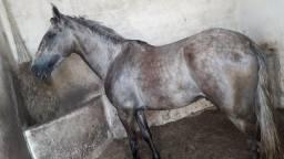 Cavalo bom de picado