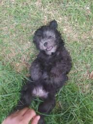 Procuro namorado poodle toy