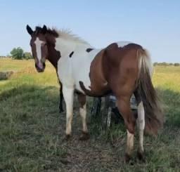 Égua Paint Horse PO prenha