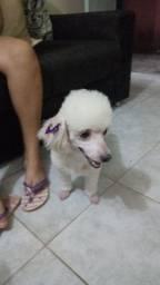 Poodle Procuro namorado