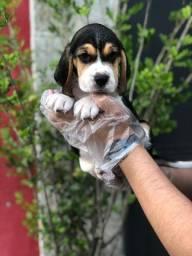 Beagle machos e fêmeas disponíveis à pronta entrega!