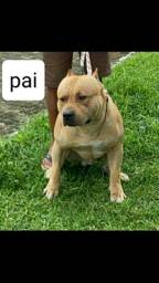 Pit monster com pitbull América