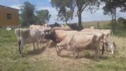 Lote de 8 vacas Jersey