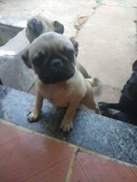 Pug Macho 5 meses