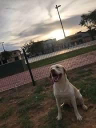 Labrador para cobertura