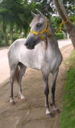 Égua mangalarga