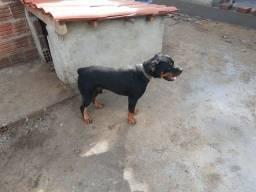 Rottweiler 1 ano puro