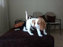 Filhotes de beagle 13 polegadas fêmea