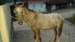 Vendo Cavalo Paluza/Crioulo