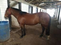 Cavalo colorado 10 anos (sem documento)troco por mouro