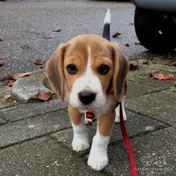 Beagle - Lindos Filhotes com Garantia no contrato e Suporte veterinário