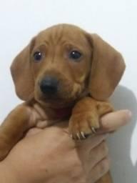 Cachorro macho caramelo o famoso salsicha