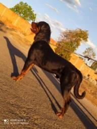 Cachorro Rotiwalle macho a procura de namorada da mesma raça