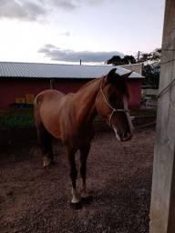 Égua crioula documentada