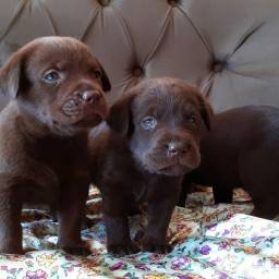 Labradores filhotes