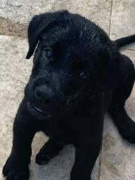 Filhote labrador macho preto