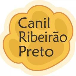 Yorkshire miniatura Canil Ribeirão Preto
