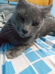 Ultimo filhote azul russo com pelagem  antialérgico!!