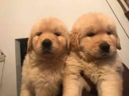 Filhotes lindos de Golden Retriver