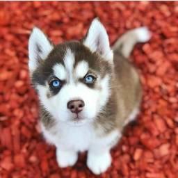 Filhotes de Husky Siberiano macho e fêmea disponíveis