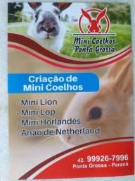 Mini coelho Ponta Grossa