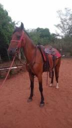 Vendo animal Capão 6 anos preço é  só  do cavalo  sem a sela .1200 arreado  1900