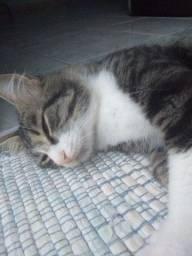 Adoção- gatinho super carinhoso